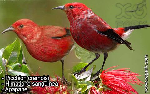 Picchion cramoisi –Himatione sanguinea – Apapane – xopark-3