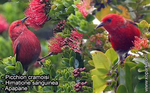 Picchion cramoisi –Himatione sanguinea – Apapane – xopark-4