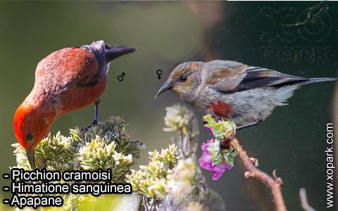 Picchion cramoisi –Himatione sanguinea – Apapane – xopark-5