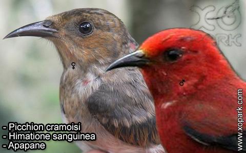 Picchion cramoisi –Himatione sanguinea – Apapane – xopark-8