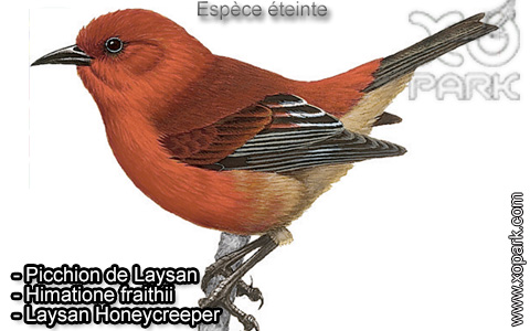 Picchion de Laysan –Himatione fraithii – Laysan Honeycreeper – xopark-1