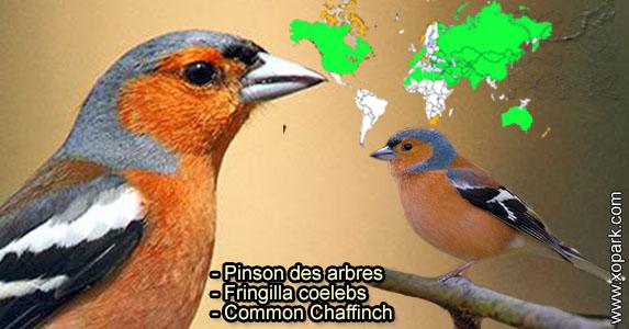 Pinson des arbres (Fringilla coelebs - Common Chaffinch) est une espèce des oiseaux de la famille des Fringillidés (Fringillidae)