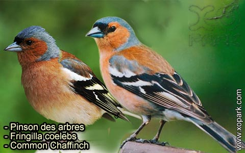 Pinson des arbres –Fringilla coelebs – Common Chaffinch – xopark-1