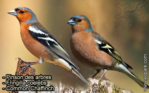 Pinson des arbres –Fringilla coelebs – Common Chaffinch – xopark-2