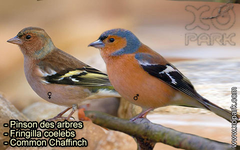 Pinson des arbres –Fringilla coelebs – Common Chaffinch – xopark-3