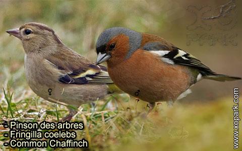 Pinson des arbres –Fringilla coelebs – Common Chaffinch – xopark-4