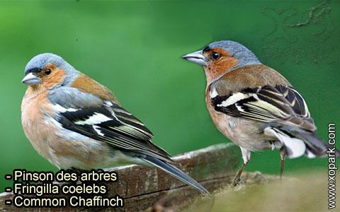 Pinson des arbres –Fringilla coelebs – Common Chaffinch – xopark-6