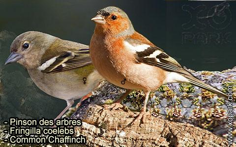 Pinson des arbres –Fringilla coelebs – Common Chaffinch – xopark-7