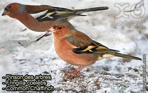 Pinson des arbres –Fringilla coelebs – Common Chaffinch – xopark-8