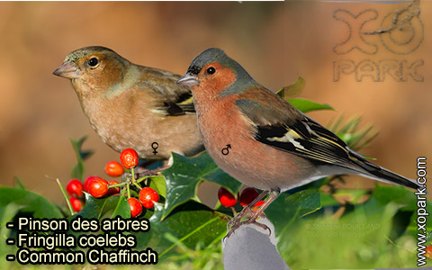 Pinson des arbres –Fringilla coelebs – Common Chaffinch – xopark-9