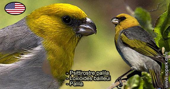 Psittirostre palila (Loxioides bailleui - Palila) est une espèce des oiseaux de la famille des Fringillidés (Fringillidae)