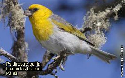 Psittirostre palila – Loxioides bailleui – Palila – xopark-10