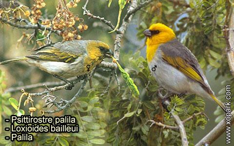 Psittirostre palila – Loxioides bailleui – Palila – xopark-4