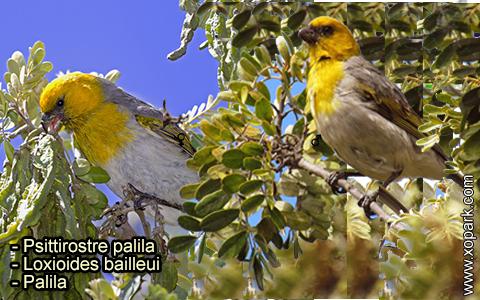 Psittirostre palila – Loxioides bailleui – Palila – xopark-5