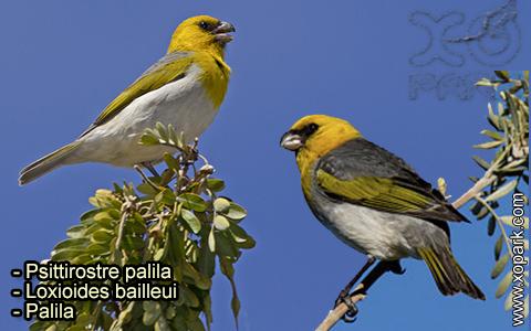 Psittirostre palila – Loxioides bailleui – Palila – xopark-6