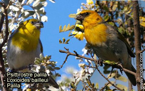Psittirostre palila – Loxioides bailleui – Palila – xopark-8
