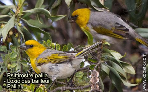 Psittirostre palila – Loxioides bailleui – Palila – xopark-9