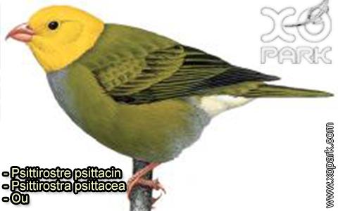 Psittirostre psittacin –Psittirostra psittacea – Ou – xopark-1