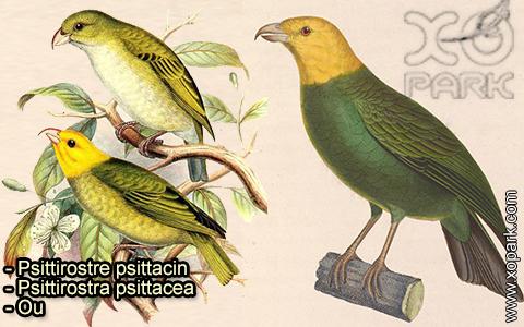 Psittirostre psittacin –Psittirostra psittacea – Ou – xopark-4