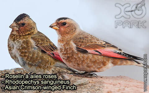 Roselin à ailes roses – Rhodopechys sanguineus – Asian Crimson-winged Finch – xopark-1