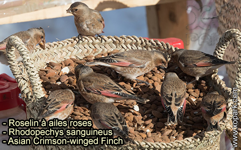 Roselin à ailes roses – Rhodopechys sanguineus – Asian Crimson-winged Finch – xopark-10