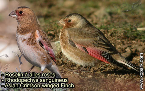 Roselin à ailes roses – Rhodopechys sanguineus – Asian Crimson-winged Finch – xopark-2