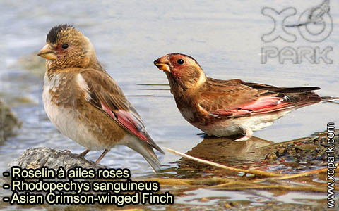 Roselin à ailes roses – Rhodopechys sanguineus – Asian Crimson-winged Finch – xopark-3