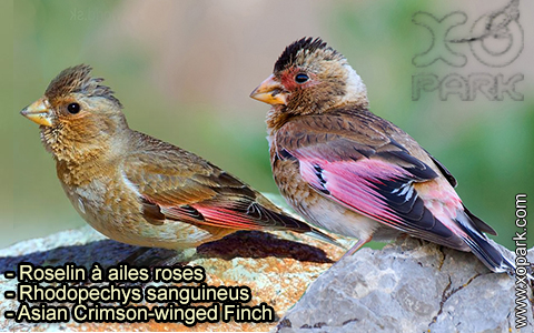 Roselin à ailes roses – Rhodopechys sanguineus – Asian Crimson-winged Finch – xopark-4