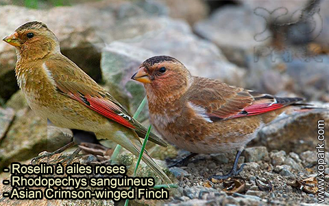 Roselin à ailes roses – Rhodopechys sanguineus – Asian Crimson-winged Finch – xopark-5
