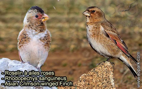Roselin à ailes roses – Rhodopechys sanguineus – Asian Crimson-winged Finch – xopark-7