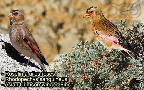 Roselin à ailes roses – Rhodopechys sanguineus – Asian Crimson-winged Finch – xopark-8