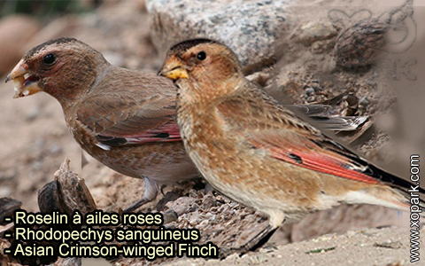 Roselin à ailes roses – Rhodopechys sanguineus – Asian Crimson-winged Finch – xopark-9