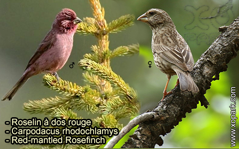 Roselin à dos rouge – Carpodacus rhodochlamys – Red-mantled Rosefinch – xopark-2