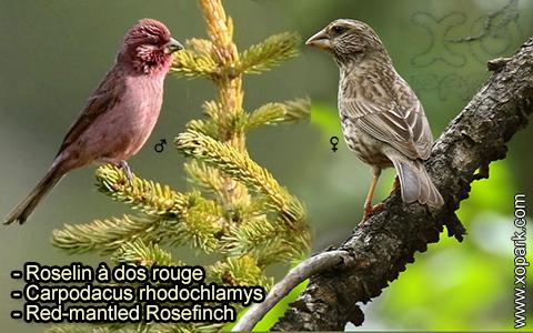 Roselin à dos rouge –Carpodacus rhodochlamys–Red-mantled Rosefinch – xopark-2