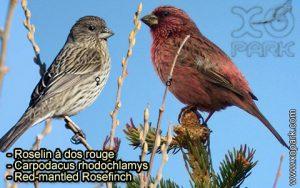 Roselin à dos rouge (Carpodacus rhodochlamys - Red-mantled Rosefinch) est une espèce des oiseaux de la famille des Fringillidés (Fringillidae)