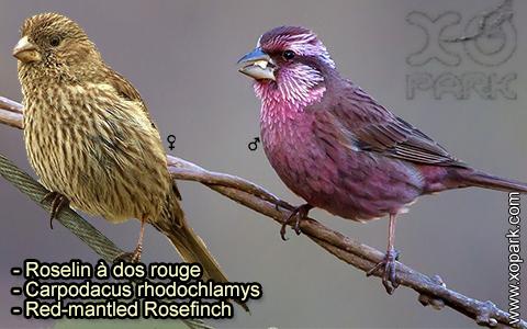 Roselin à dos rouge –Carpodacus rhodochlamys–Red-mantled Rosefinch – xopark-4