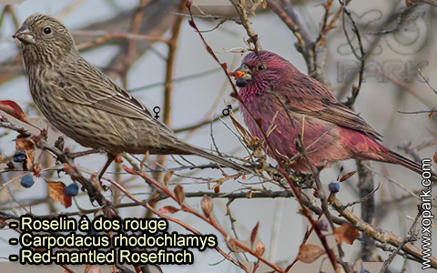 Roselin à dos rouge – Carpodacus rhodochlamys – Red-mantled Rosefinch – xopark-5