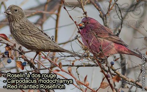 Roselin à dos rouge –Carpodacus rhodochlamys–Red-mantled Rosefinch – xopark-5