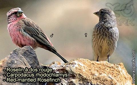 Roselin à dos rouge –Carpodacus rhodochlamys–Red-mantled Rosefinch – xopark-6