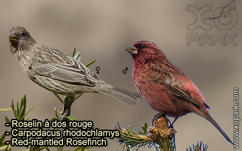 Roselin à dos rouge – Carpodacus rhodochlamys – Red-mantled Rosefinch – xopark-7
