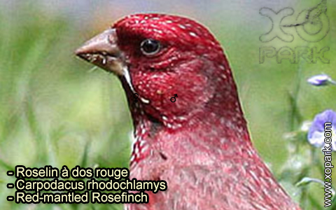 Roselin à dos rouge – Carpodacus rhodochlamys – Red-mantled Rosefinch – xopark-9