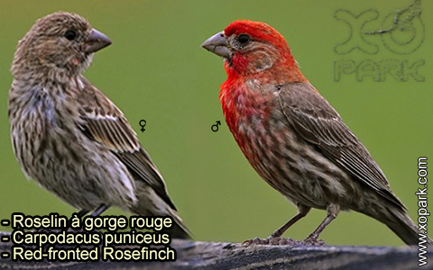 Roselin à gorge rouge – Carpodacus puniceus – Red-fronted Rosefinch – xopark-1