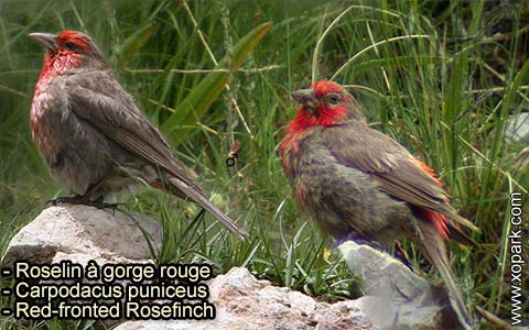 Roselin à gorge rouge – Carpodacus puniceus – Red-fronted Rosefinch – xopark-10