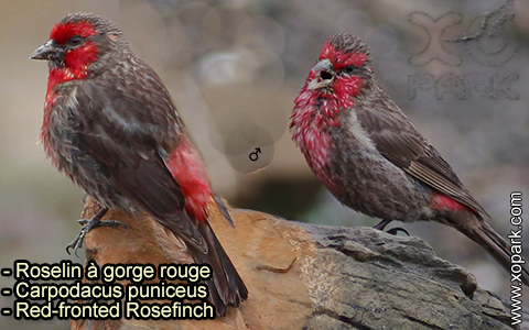 Roselin à gorge rouge – Carpodacus puniceus – Red-fronted Rosefinch – xopark-2