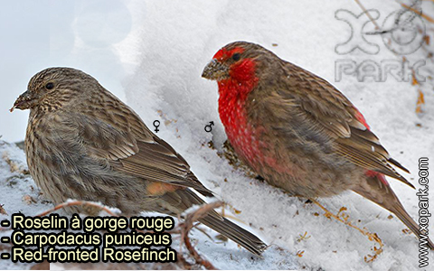 Roselin à gorge rouge – Carpodacus puniceus – Red-fronted Rosefinch – xopark-3