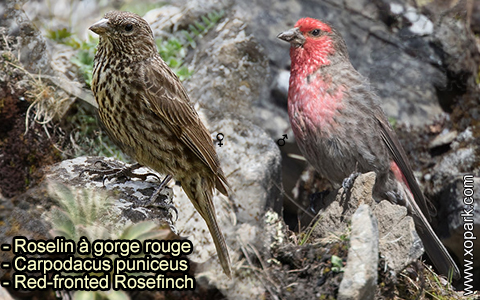 Roselin à gorge rouge – Carpodacus puniceus – Red-fronted Rosefinch – xopark-4