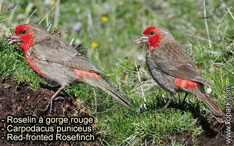 Roselin à gorge rouge – Carpodacus puniceus – Red-fronted Rosefinch – xopark-5