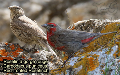 Roselin à gorge rouge – Carpodacus puniceus – Red-fronted Rosefinch – xopark-6