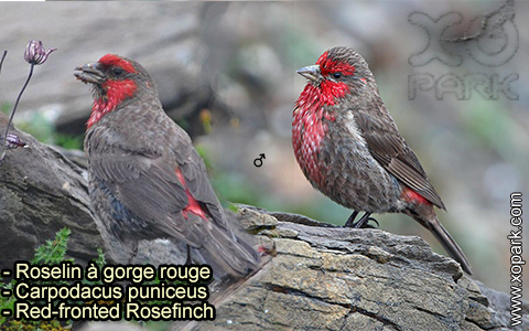 Roselin à gorge rouge – Carpodacus puniceus – Red-fronted Rosefinch – xopark-7