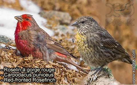 Roselin à gorge rouge – Carpodacus puniceus – Red-fronted Rosefinch – xopark-8